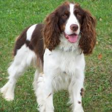 English Springer Spaniel Dog Breed Info