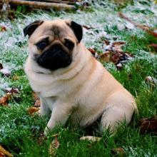Pug Dog Breed Info